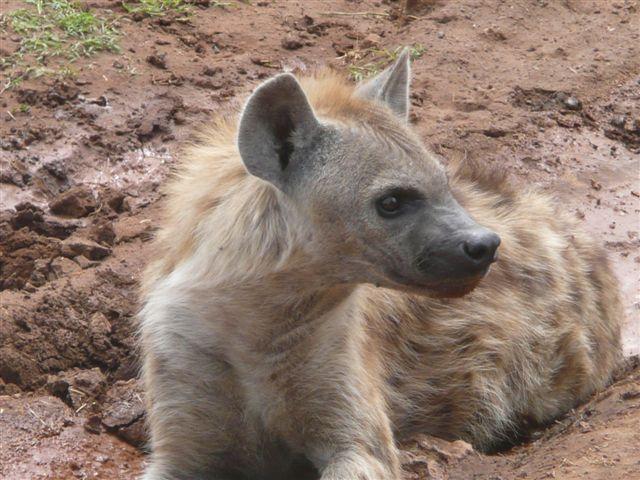 Hyäne ganz nah...