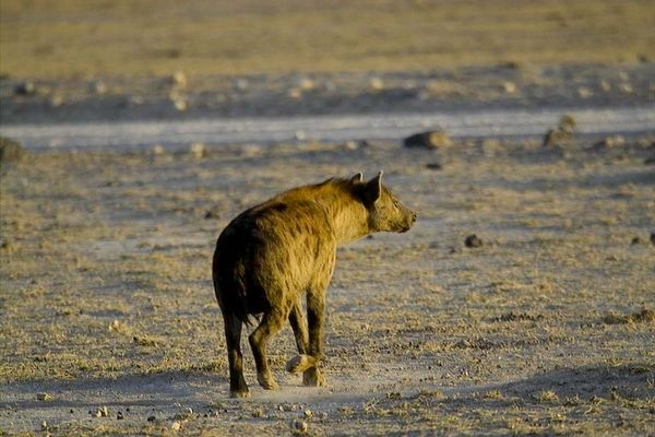 Hyäne im Amboseli Nationalpark, Kenia