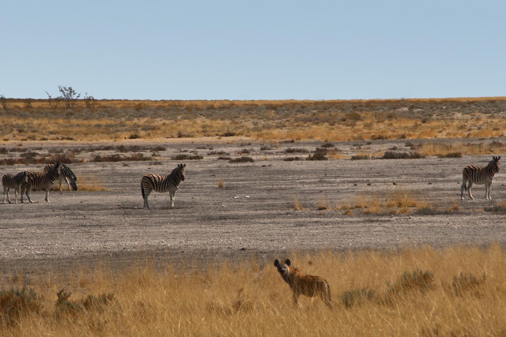 Hyäne im Etosha-Nationalpark