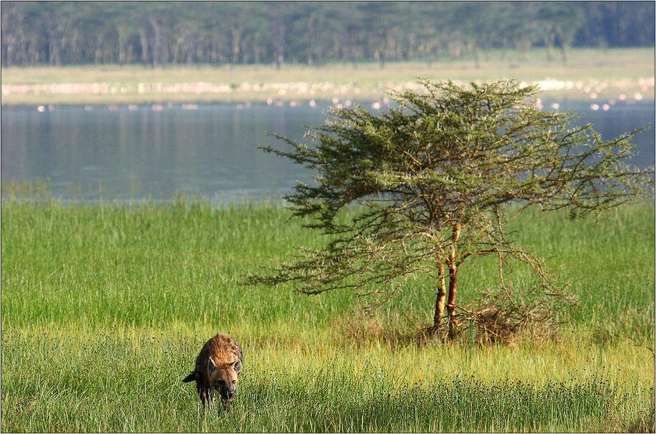 Hyäne - Lake Nakuru