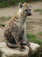 Hyäne wartet geduldig auf´s Abendbrot