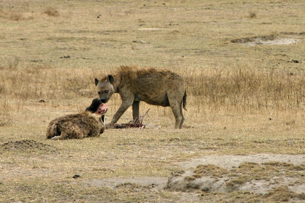 Hyänen-Futter
