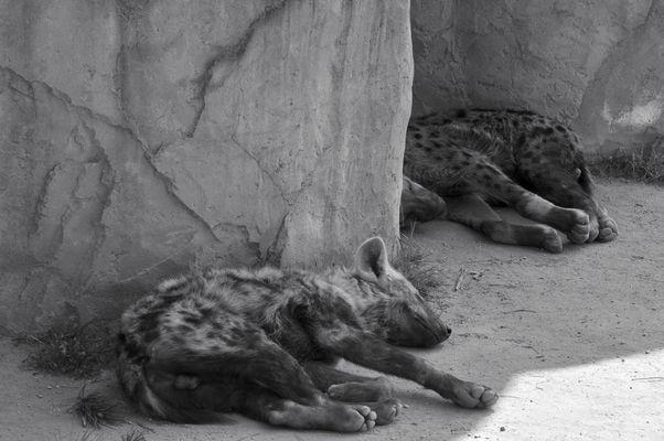 Hyänen nach dem Mittagessen