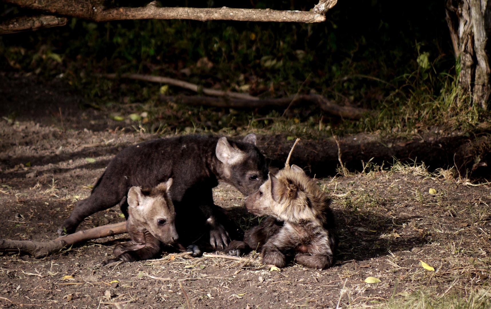 Hyänenkinder