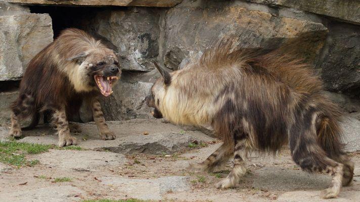 Hyänenstreit