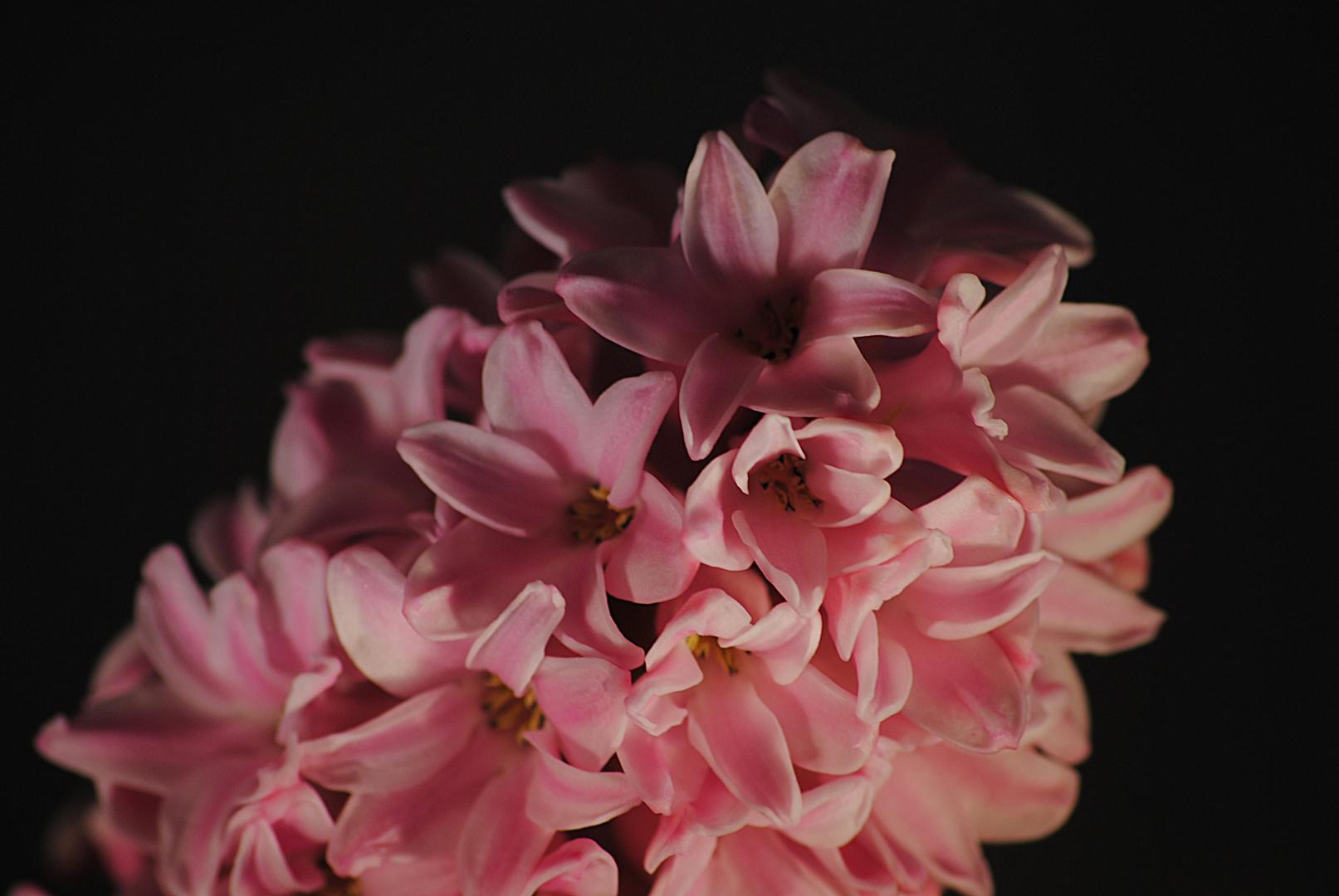 Hyazintenblüte