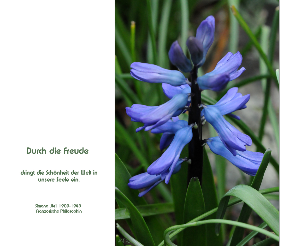 Hyazinthe in blau