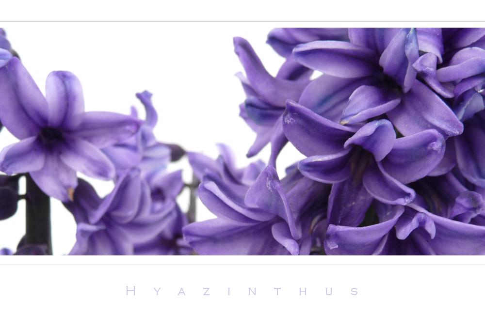 . hyazinthus .