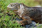 [ Hybrid Iguana ]