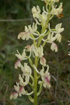 Hybride, Orchis mascula X Orchis provincialis (Aude)
