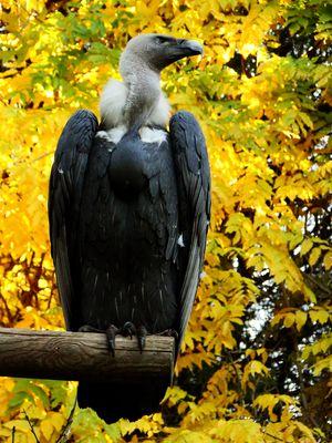 Hybrides vautour fauve vautour africain
