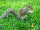 Hyde Park Squirrel