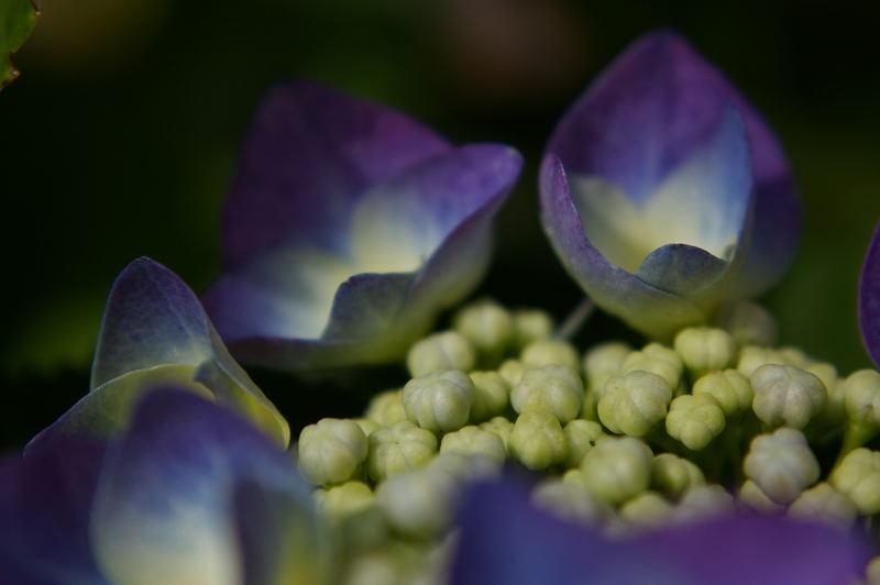 Hydrangea in softtones.