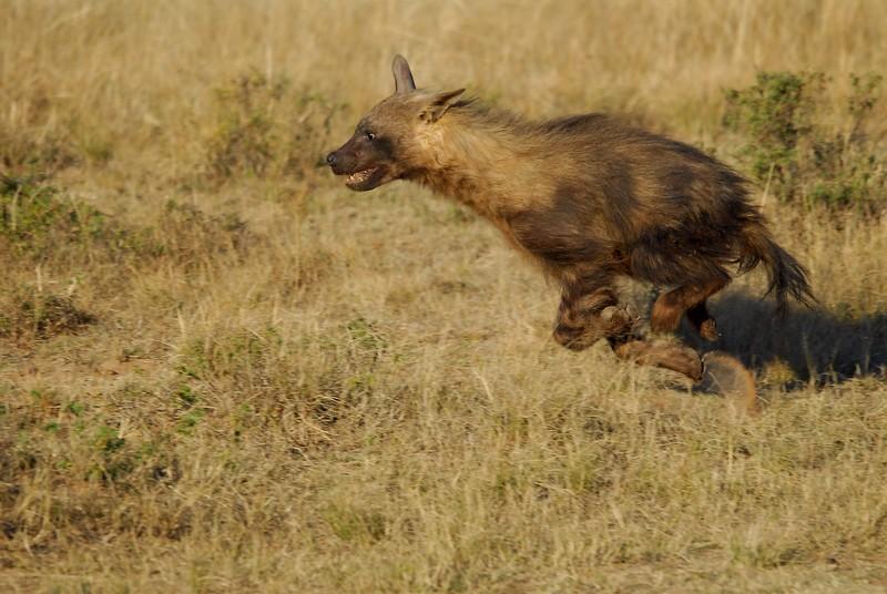 Hyène brune 2