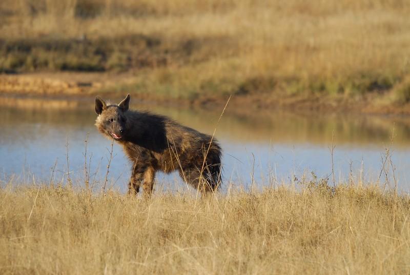 Hyène brune 3