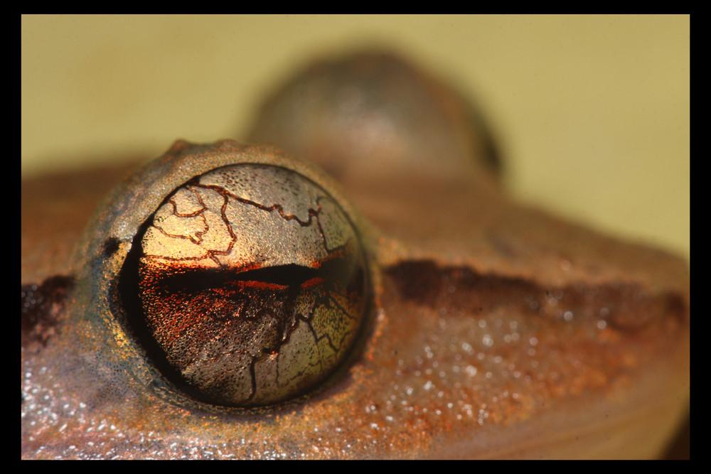 Hylode de la Martinique (2)