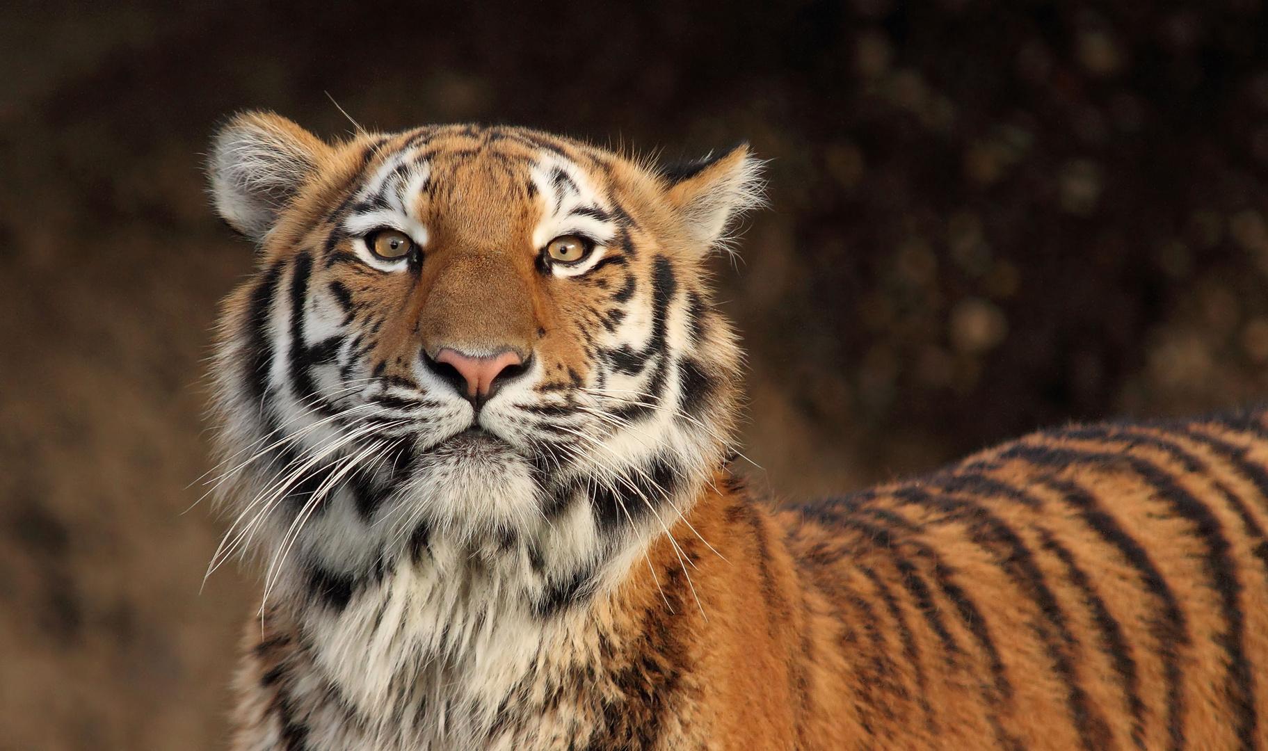 """Hypnose-Tigerin"" ???"