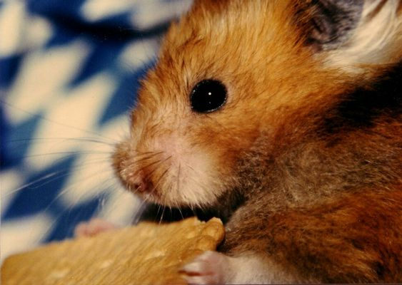 i bin a bayrischer Hamster