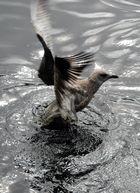 I can fly...Junge Möve startet aus dem Wasser