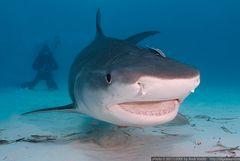 I can smile! (Galeocerdo cuvier)