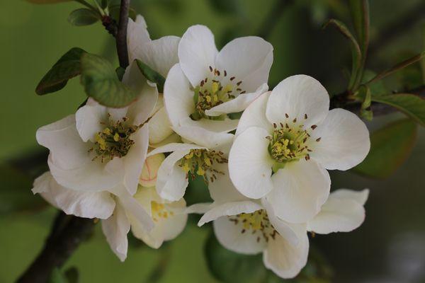 I fiori del melo cotogno