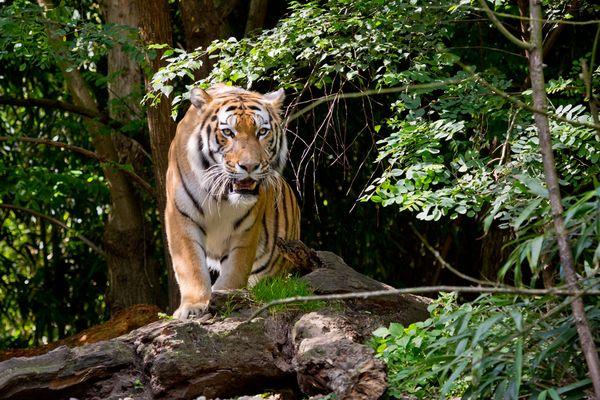 I found that tiger, Roy.