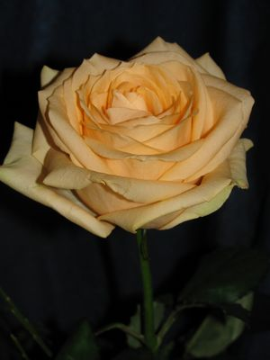 I got this rose to Woman's day