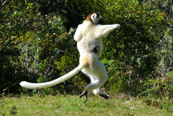 I ike to Move it.... Sifaka in Madagaskar