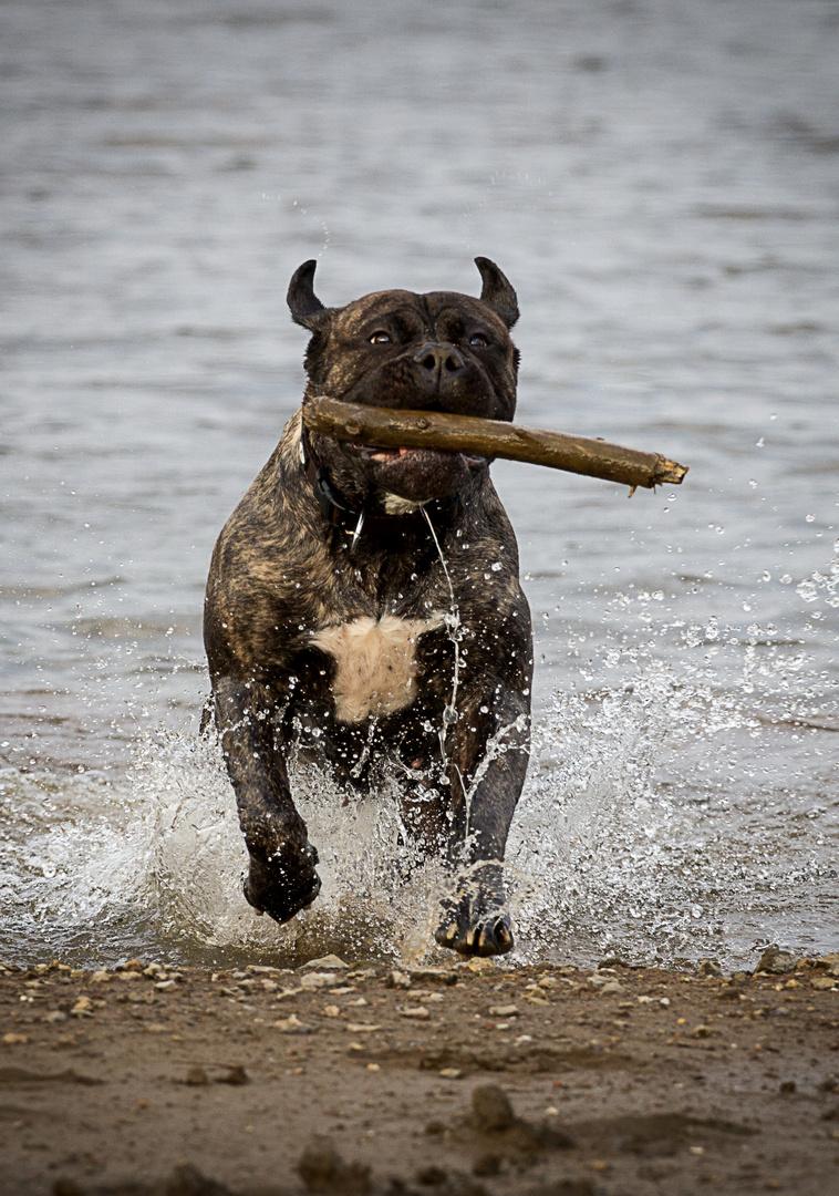 I Love My Bullmastiff 2