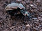 I love you - Carabus ullrichii