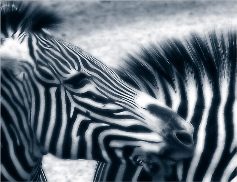"""I """"neat"""" zebras"""