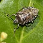 (I) Nochmal die Gartenwanze (Rhaphigaster nebulosus)