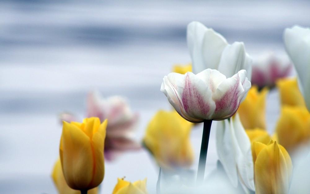I tulipani di Parco Ciani