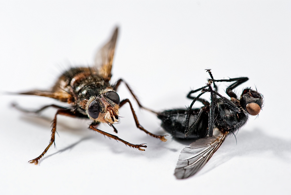 [:I was killed by a tiger fly:]