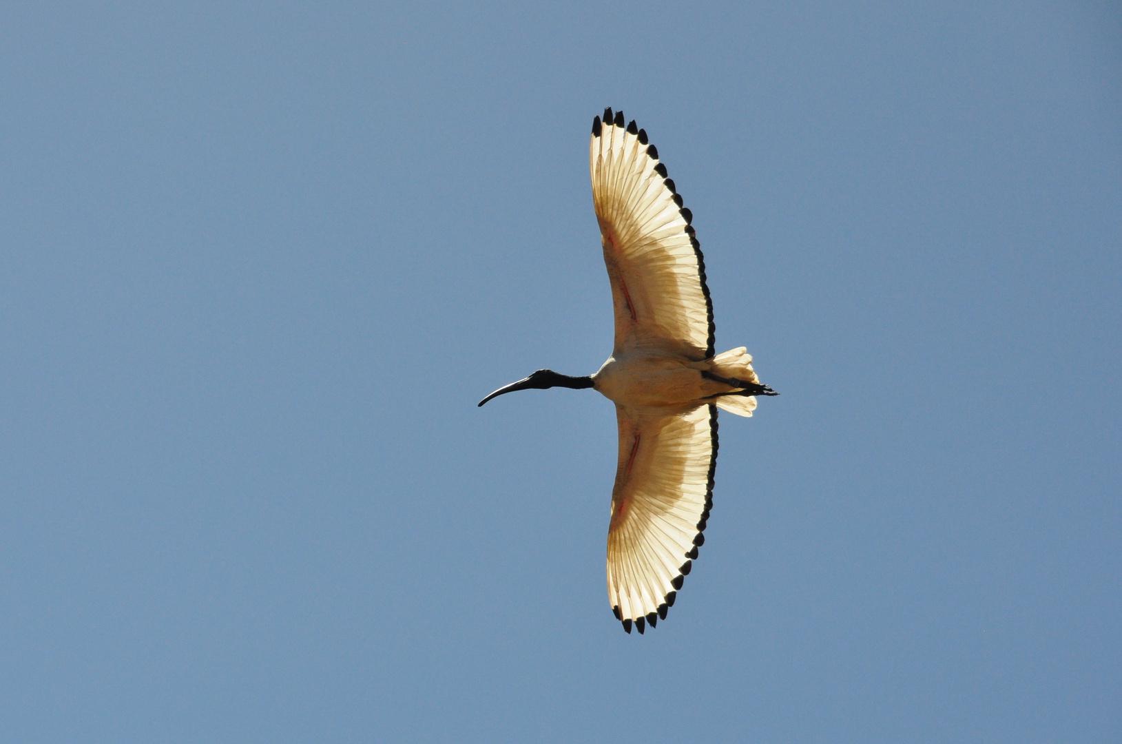 Ibis hoch am Himmel in der MIttagssonne