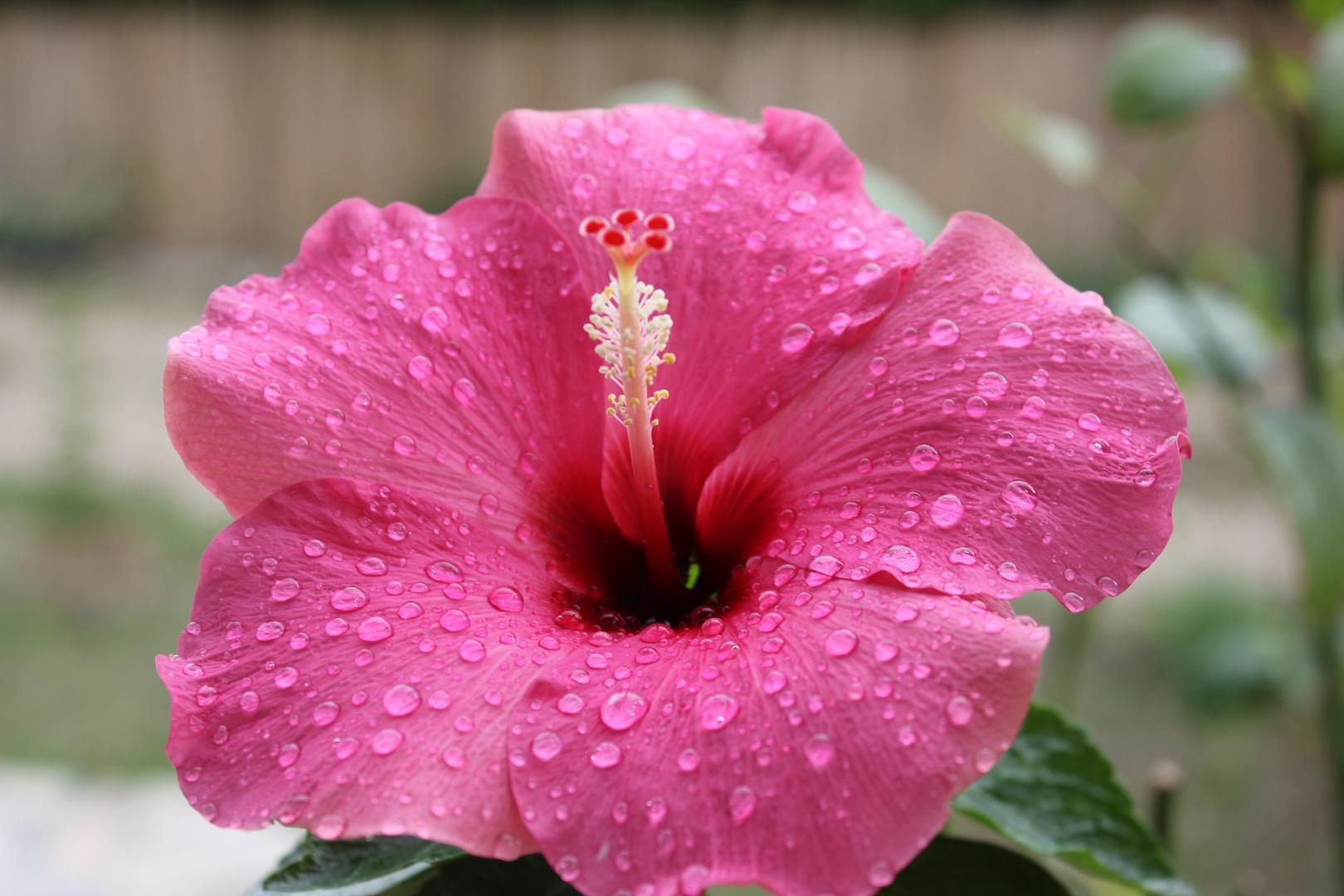 Ibiscus sous la pluie