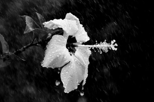 ibiscus sous la pluie n&b
