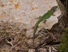 Ibiza Fauna: Pityusen-Mauereidechse
