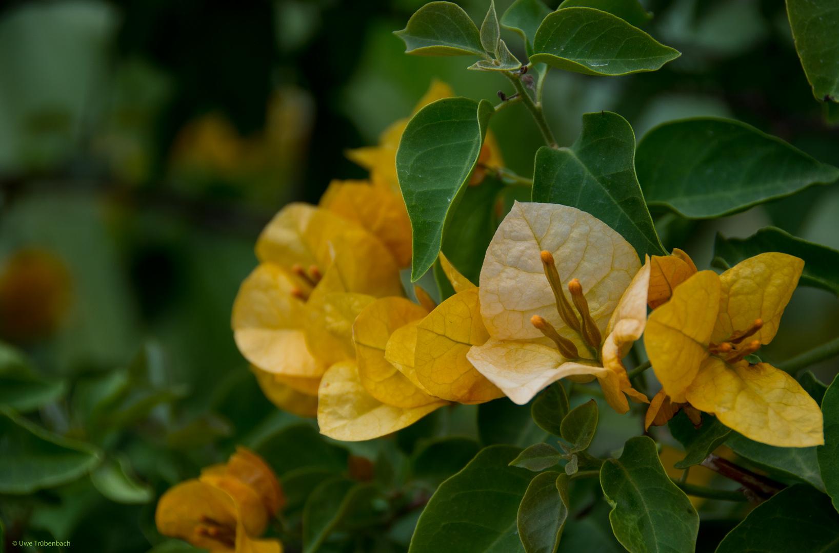 Ibiza Flora (1): gelbe Bougainvillea