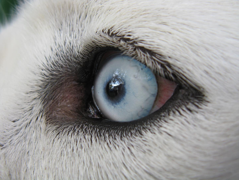 """ Iceblue Eye from a husky """