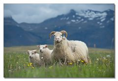 Iceland Impressions - The Lowland Sheep Family