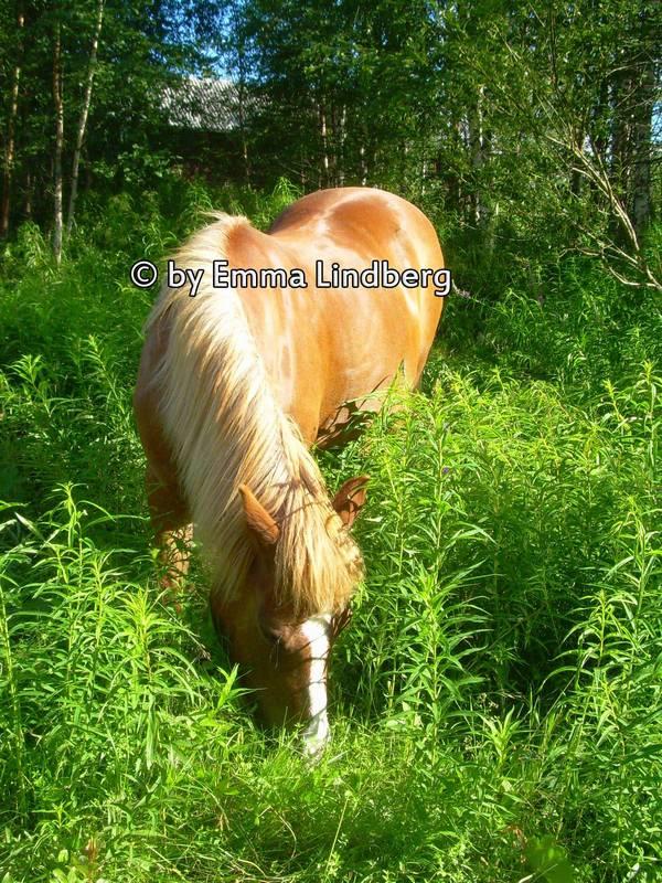 Icelandhors