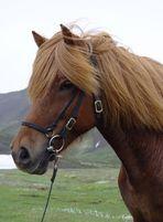 ~Icelandic Horse~