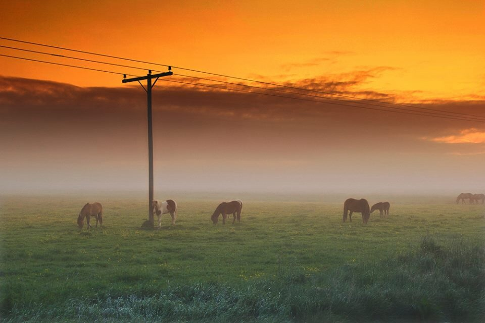 Icelandic Horses in the Fog