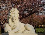 Ich bin der Bewacher der Zierkirschenblüte im Schwetzinger Schlossgarten (Mannheim) und....