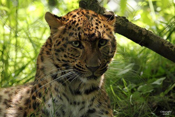 Ich bin die neue Leopardin