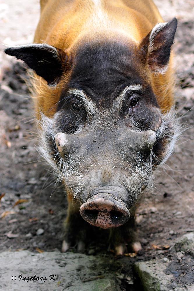 Ich bin ein ganz sauberes und besonders schönes Schwein