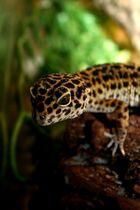 Ich bin ein Geckotier....