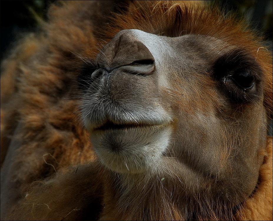 Ich bin ein Kamel !