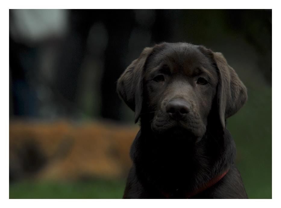 Ich bin ein kleiner Labrador und wenn ich groß bin will ich Windhund werden